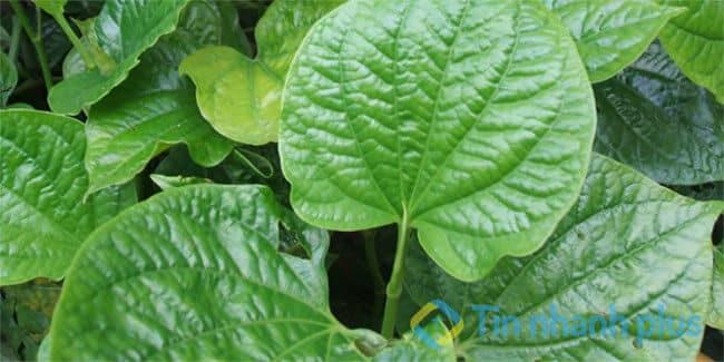 cây lá lốt chữa bệnh gai cột sống