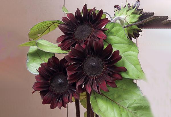 hoa hướng dương màu đỏ