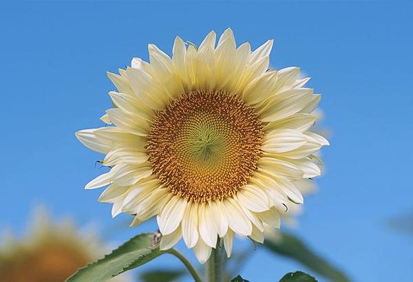 hoa hướng dương màu trắng