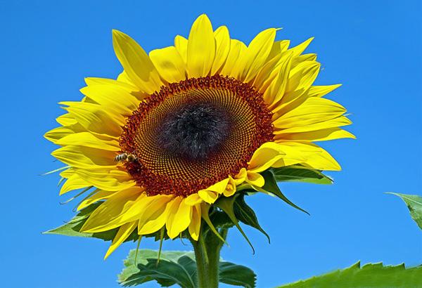 hoa hướng dương màu vàng